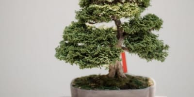 Invest & Buy a Japanese Bonsai